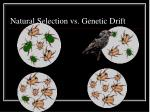 natural selection vs genetic drift