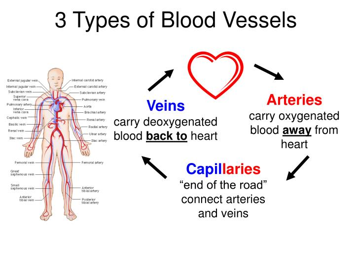 3 Types of Blood Vessels