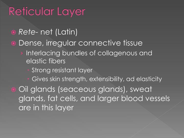 Reticular Layer