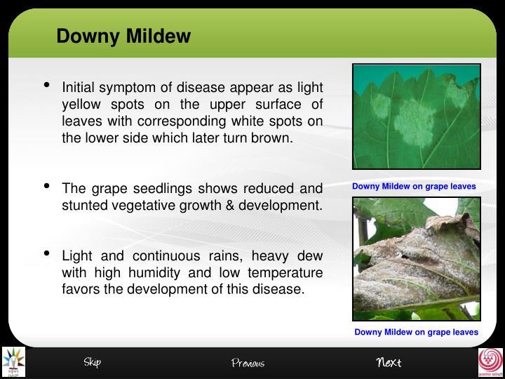 Downy Mildew