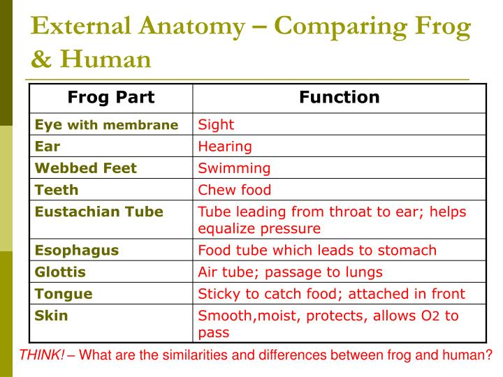 PPT - Frog Dissection PowerPoint Presentation - ID:2993114