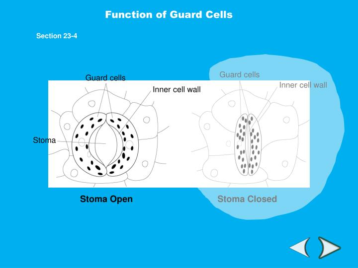 Function of Guard Cells