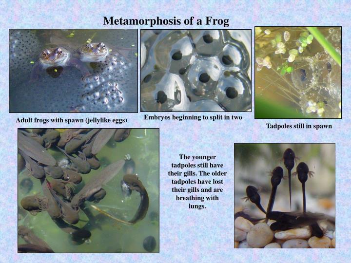 Metamorphosis of a Frog