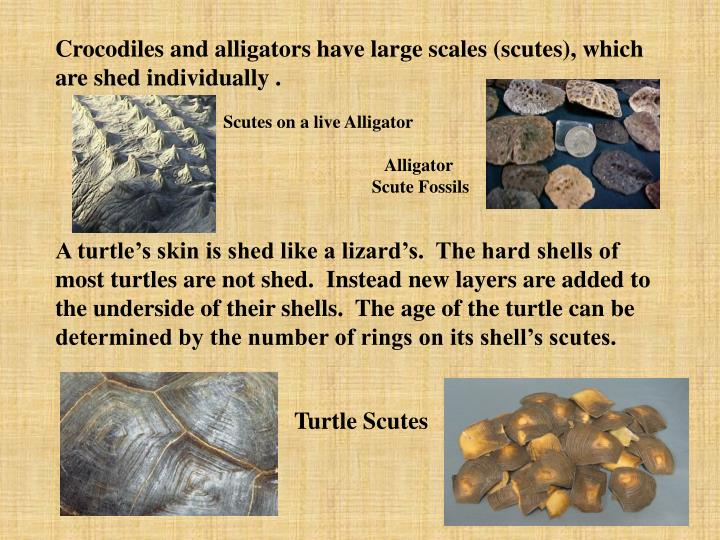 Crocodiles and alligators have large scales (scutes), which are shed individually .