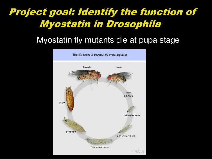 Project goal: Identify the function of Myostatin in Drosophila