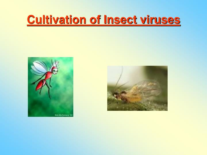 Cultivation of Insect viruses