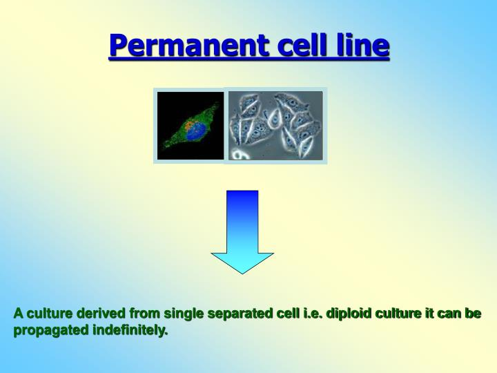 Permanent cell line