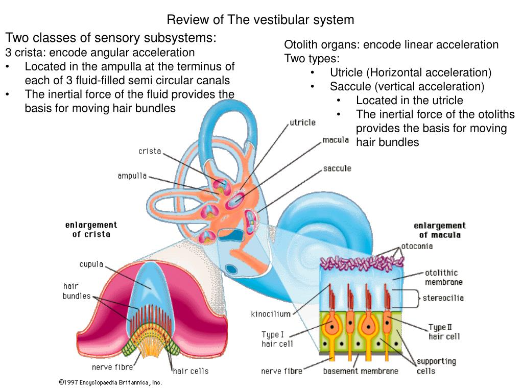 PPT - Review of The vestibular system PowerPoint Presentation - ID ...
