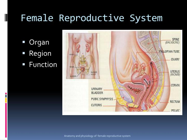 PPT - Reproductive system PowerPoint Presentation - ID:3001868