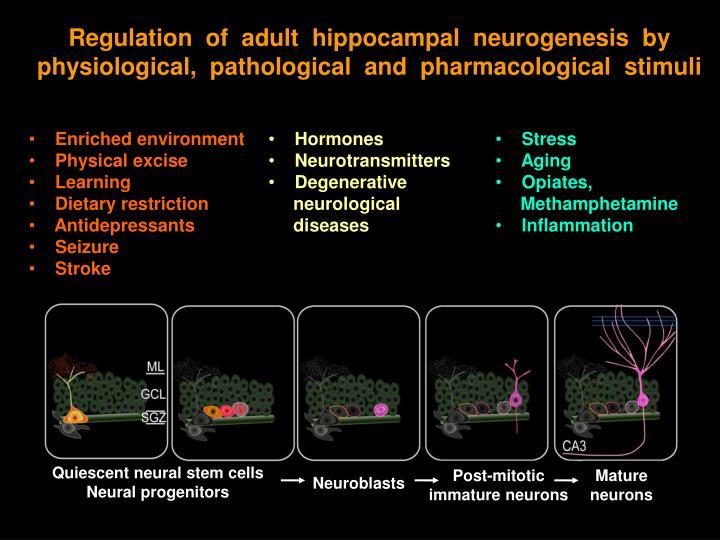 Regulation  of  adult  hippocampal  neurogenesis  by  physiological,  pathological  and  pharmacological  stimuli