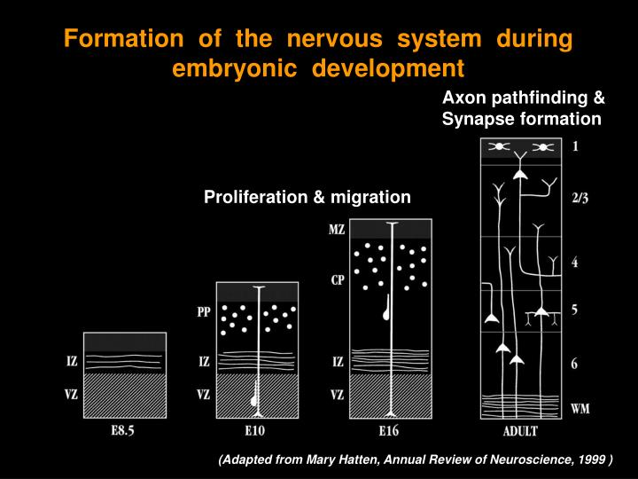 Formation  of  the  nervous  system  during