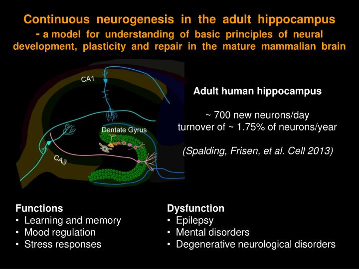 Continuous  neurogenesis  in  the  adult  hippocampus