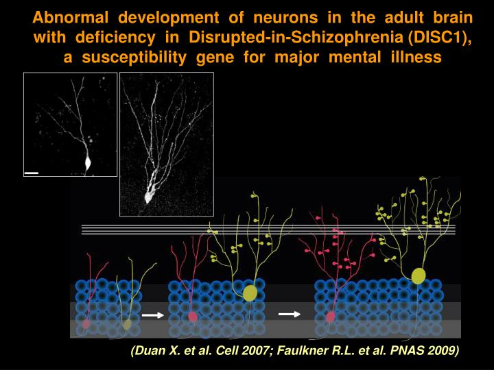 Abnormal  development  of  neurons  in  the  adult  brain  with  deficiency  in  Disrupted-in-Schizophrenia (DISC1),
