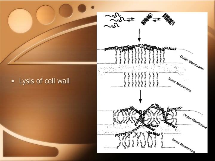Lysis of cell wall