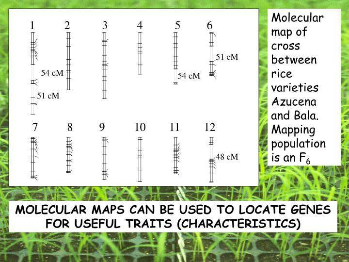 Molecular map of cross between rice varieties Azucena and Bala. Mapping population is an F