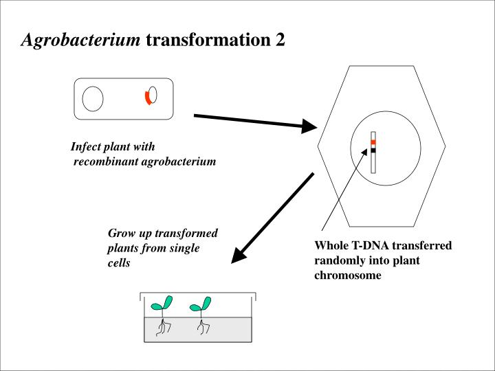 Grow up transformed plants from single cells