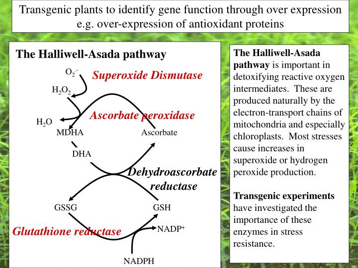 Transgenic plants to identify gene function through over expression