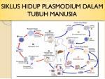 siklus hidup plasmodium dalam tubuh manusia
