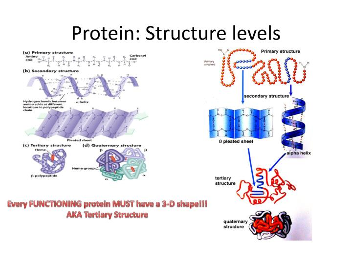 Protein: Structure levels