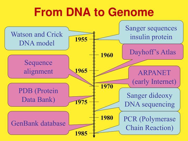 Sanger sequences insulin protein