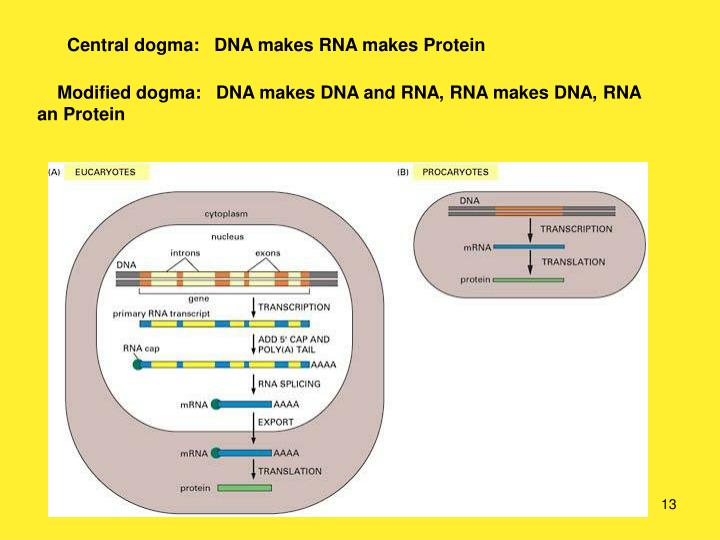Central dogma:   DNA makes RNA makes Protein