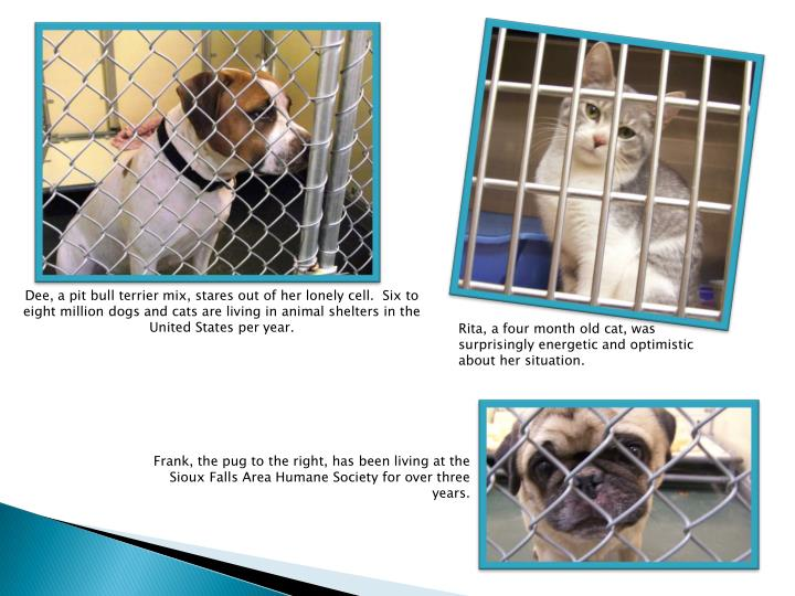 Dee, a pit bull terrier mix, stares out of her lonely cell.  Six to eight million dogs and cats are ...