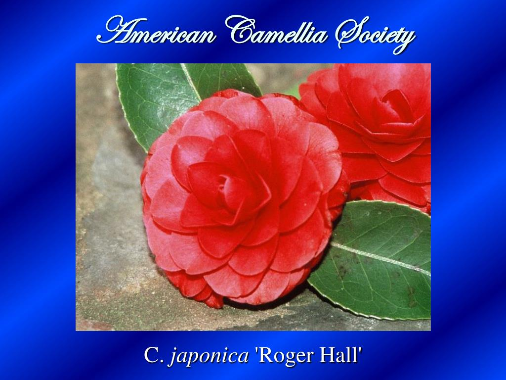 Camellia Japonica Roger Hall ppt - american camellia society powerpoint presentation