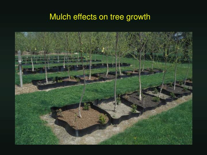 Mulch effects on tree growth