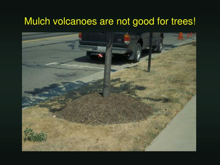 Mulch volcanoes are not good for trees!