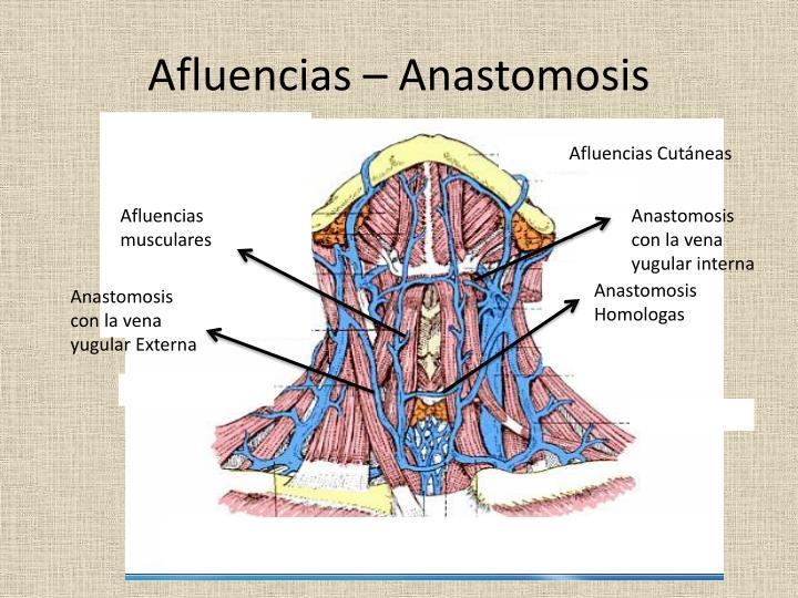 Afluencias – Anastomosis