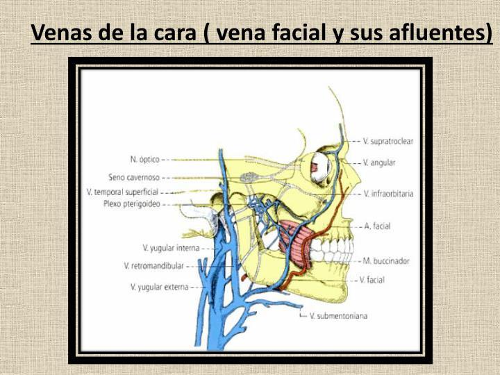 Venas de la cara ( vena facial y sus afluentes)