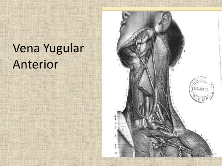 Vena Yugular