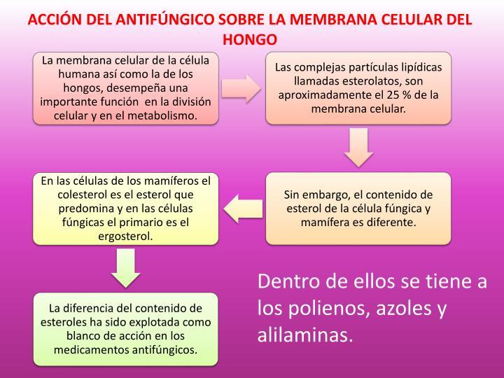 ACCIÓN DEL ANTIFÚNGICO SOBRE LA MEMBRANA CELULAR DEL HONGO