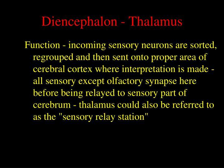 Diencephalon - Thalamus