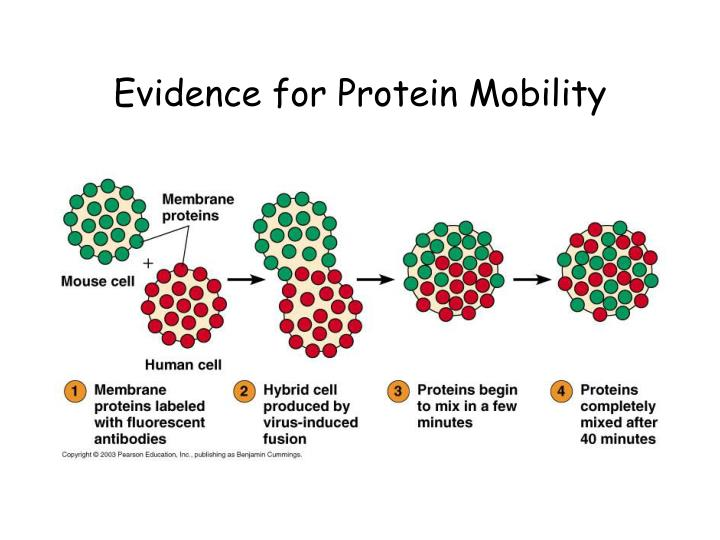 Evidence for Protein Mobility