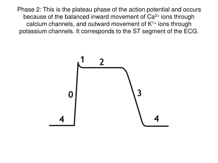 Phase 2: This is the plateau phase of the action potential and occurs because of the balanced inward movement of Ca