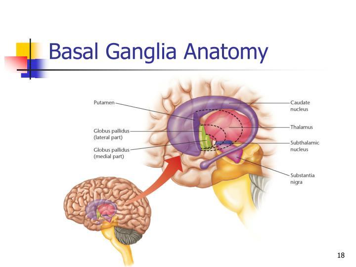Ppt Basal Ganglia Powerpoint Presentation Id3029471