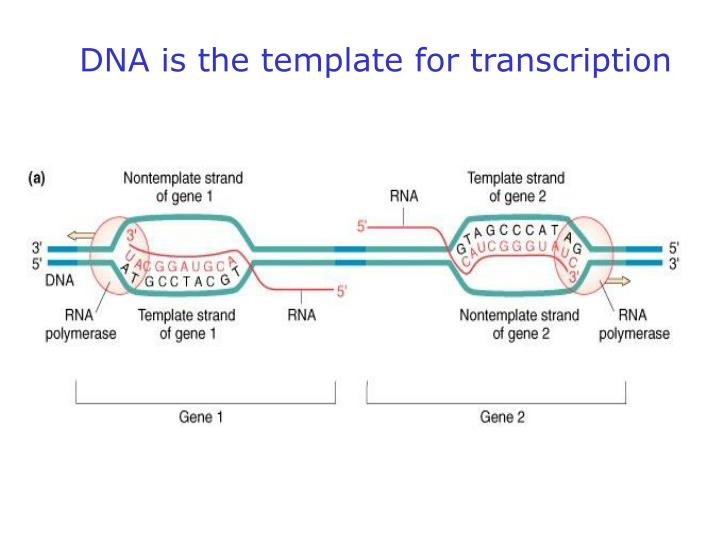 DNA is the template for transcription