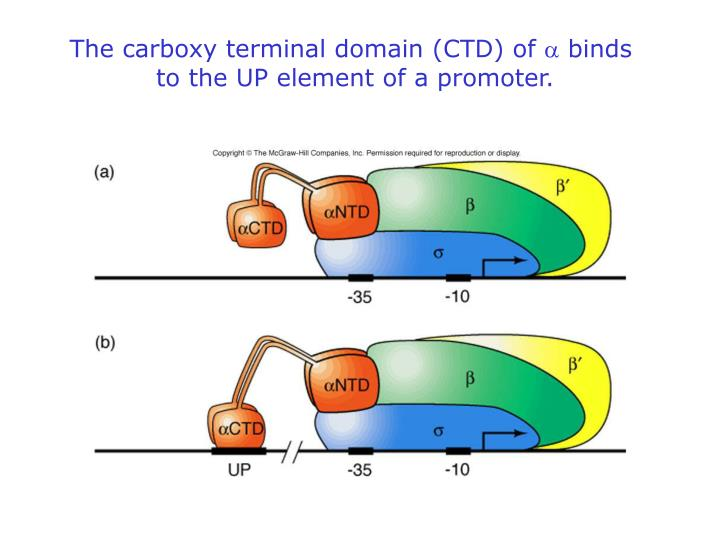 The carboxy terminal domain (CTD) of
