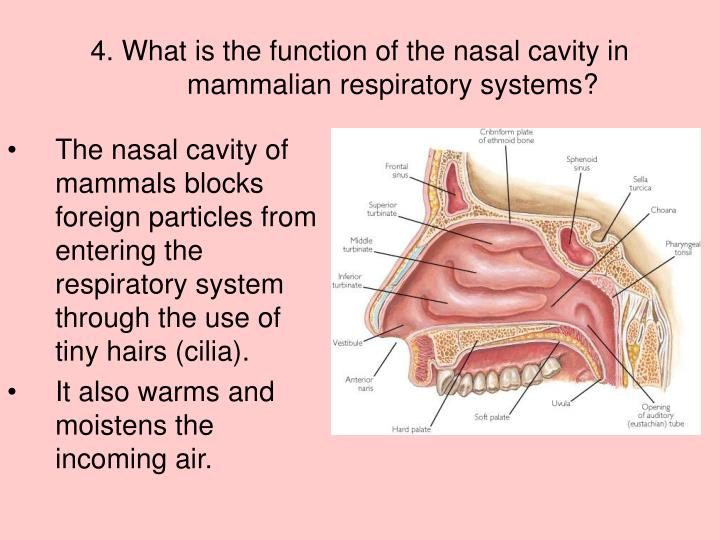 PPT - Respiratory System PowerPoint Presentation - ID:3031481
