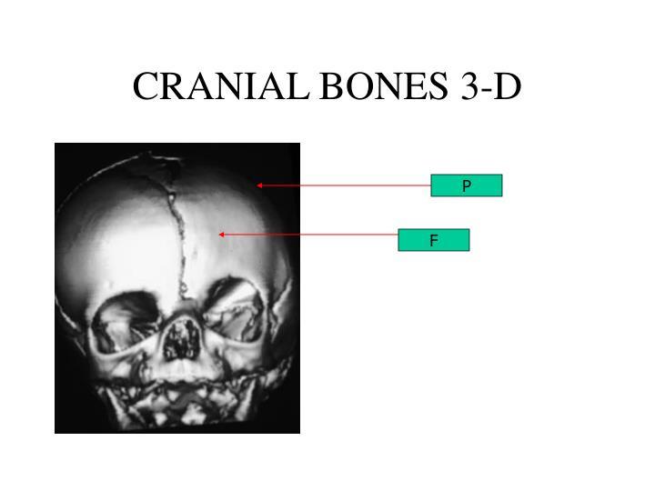 CRANIAL BONES 3-D
