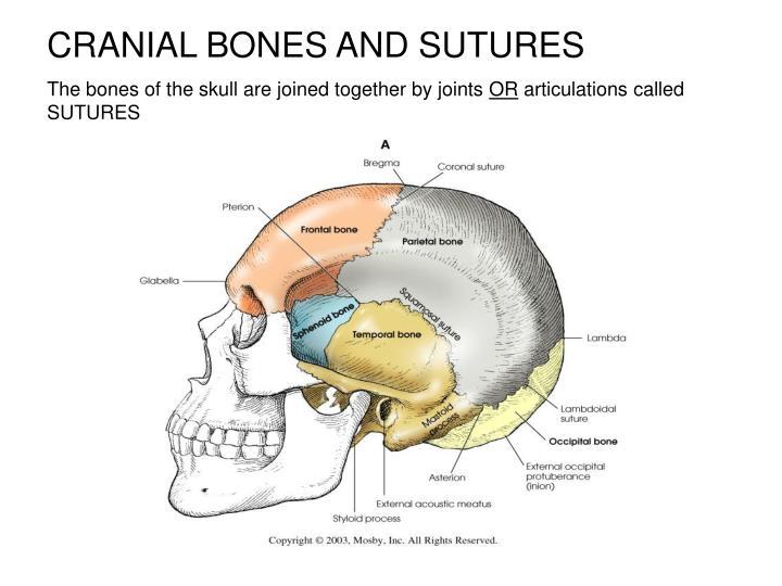 CRANIAL BONES AND SUTURES