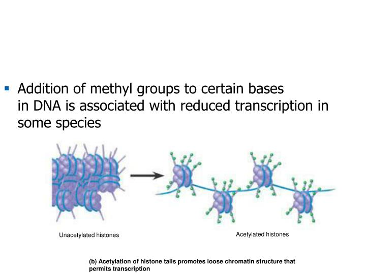 Addition of methyl groups to certain bases