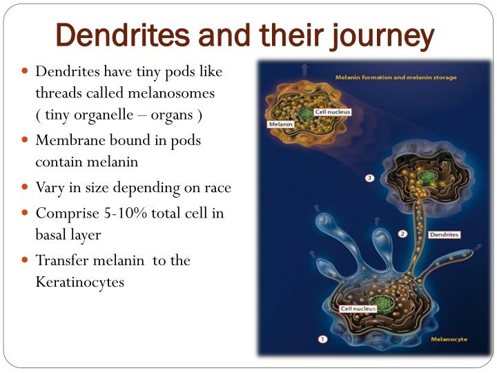 Dendrites and their journey