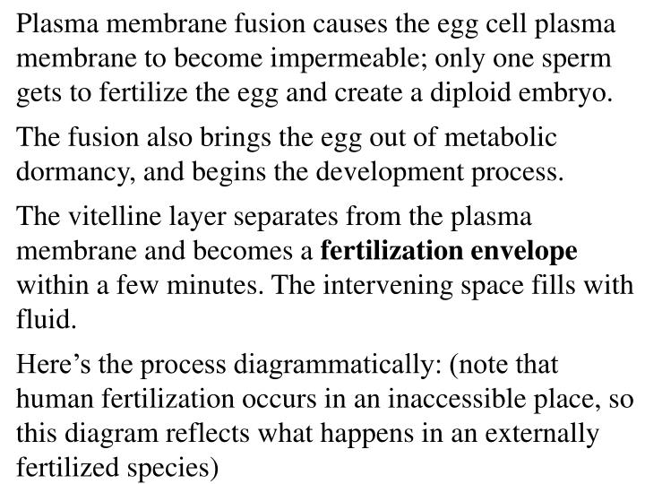 Plasma membrane fusion causes the egg cell plasma membrane to become impermeable; only one sperm gets to fertilize the egg and create a diploid embryo.
