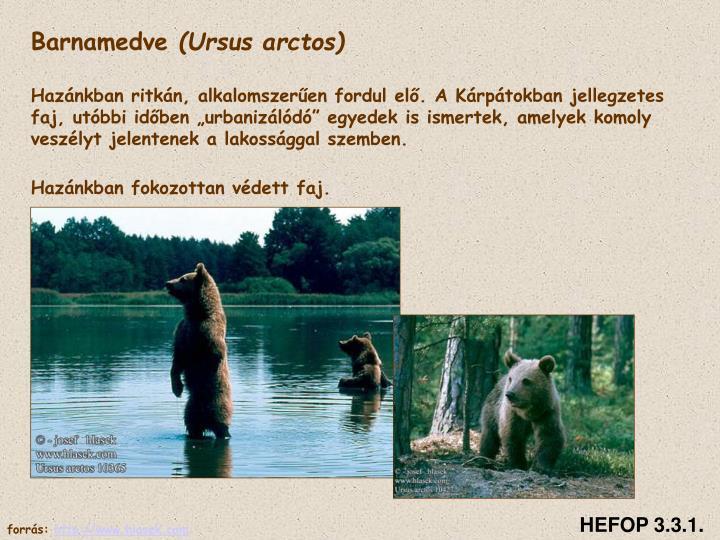 Család: Medvefélék