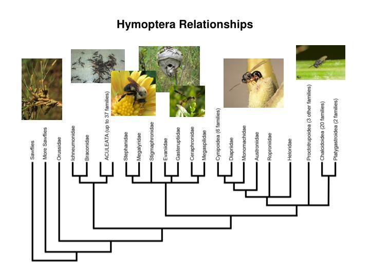 Hymoptera Relationships