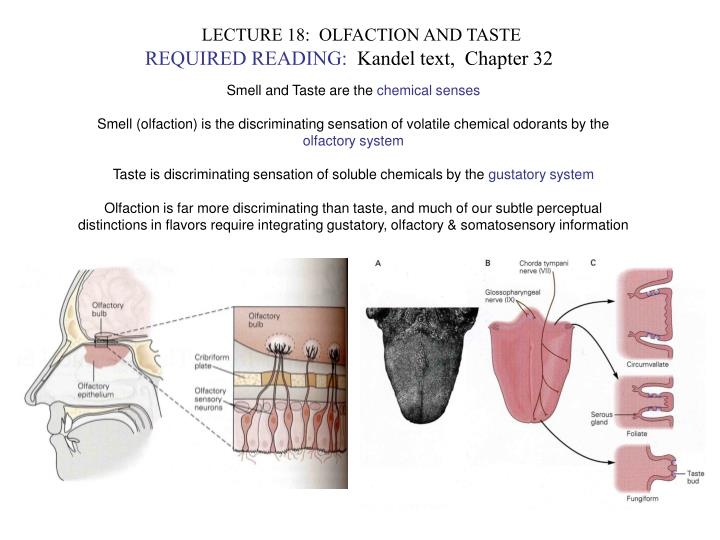LECTURE 18:  OLFACTION AND TASTE