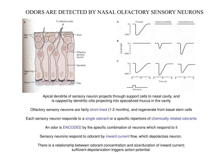 ODORS ARE DETECTED BY NASAL OLFACTORY SENSORY NEURONS