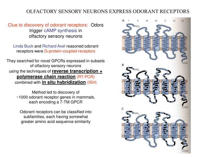 OLFACTORY SENSORY NEURONS EXPRESS ODORANT RECEPTORS